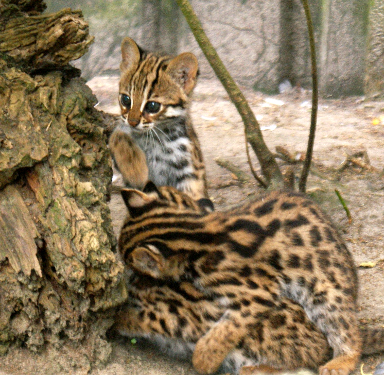tijgerkatjes