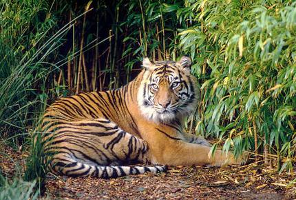 SumatraanseTijger